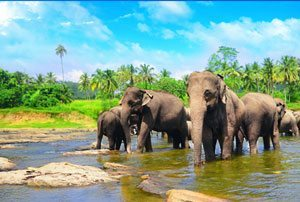 Sri Lanka Wild Elephants