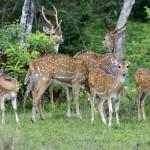 Yala National Park Deer Sighting