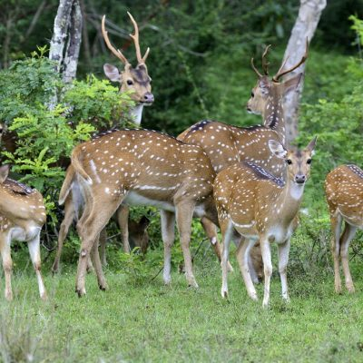 Yala National Park Deer Sighting